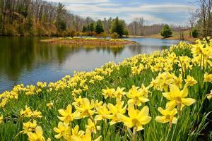 daffodil-bill-wakeley