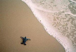 leatherback-sea-turtle-baby