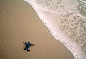 leatherback-sea-turtle-baby