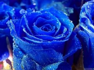 blue_roses_3_1400x1050