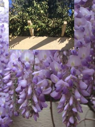 wisteria-img_0987 copy
